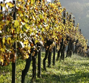 Vignes à Bordeaux